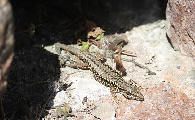 Wall lizard, Gorey Castle