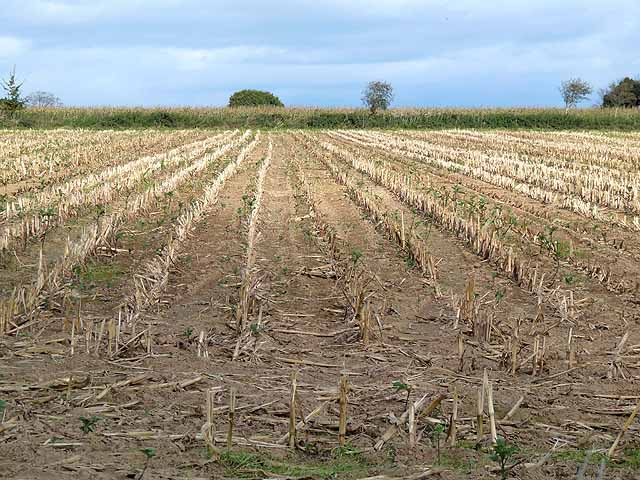 Field of corn stubble