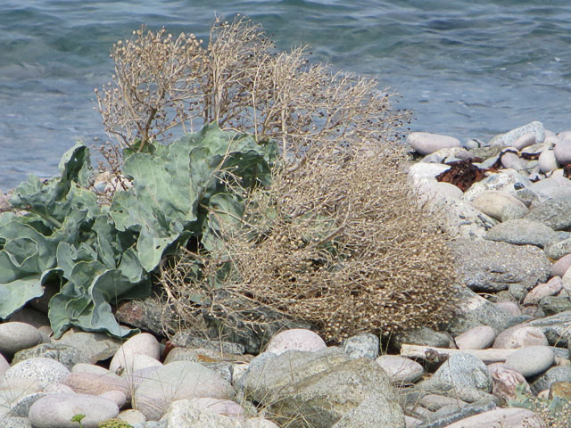Sea Kale at Crabby Bay