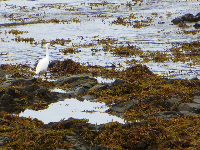 Little Egret at Braye Bay