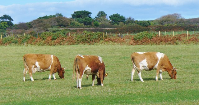 Little Sark - Guernsey Cattle