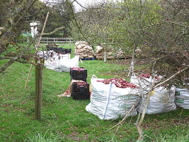 Apple harvest at La Mare Wine Estate, La Falaise