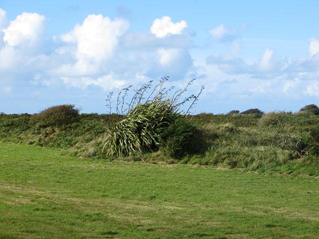 Canna near Pont Martin, Alderney