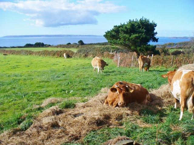 Little Sark - Guernsey Cattle Grazing